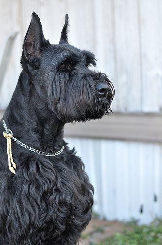 Panduan Mengenai Ras Anjing Giant Schnauzer