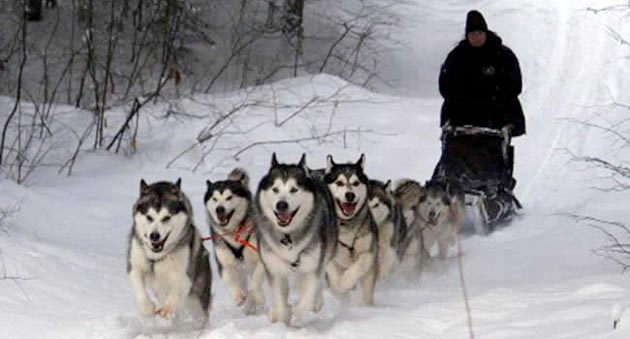 Mengenal Ras Anjing Alaskan Malamute