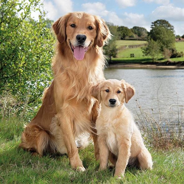 Masalah Kesehatan Pada Anjing Golden Retriever